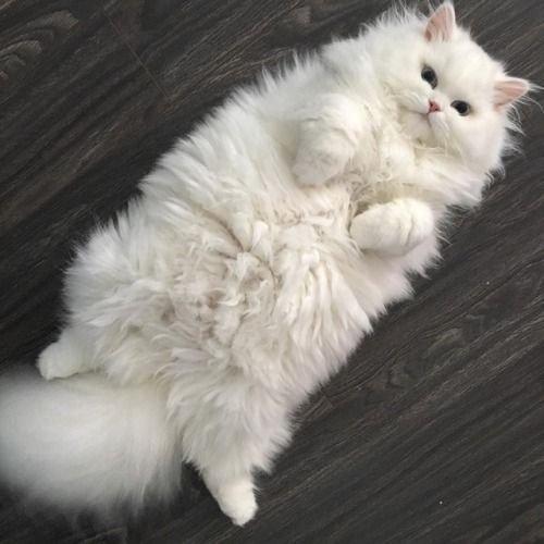 пушистый кот.jpg