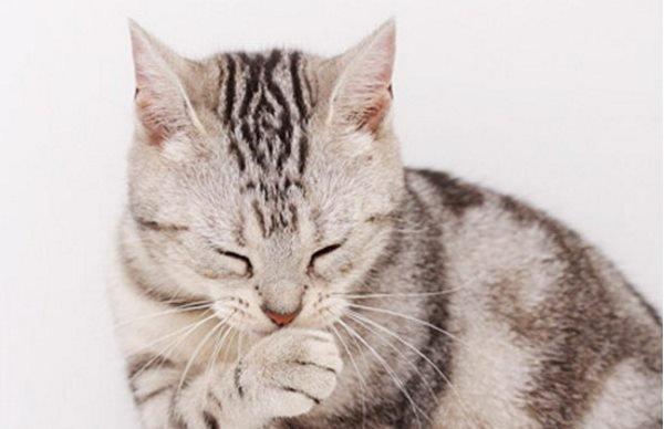 Как кошкам лечить бронхит